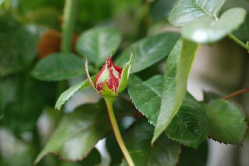 rosebudoctober